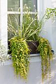 Kasten mit Feuchtigkeit liebenden Pflanzen am Fenster