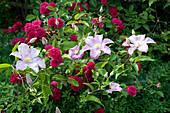 Ramblerrose 'Super Excelsa' mit Clematis Hybride 'Perle d Azur'