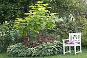 Blauglockenbaum im Rundbeet mit Rosen und Funkien