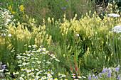 Naturgarten mit gelbem Leinkraut und Kamille