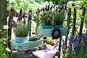 Schopf-Lavendel 'Otto Quast' mit Lavendel-Kränzchen am Gartenzaun