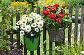 Sommer-Margerite 'Victorian Secret' und Zinnie an Gartenzaun gehängt