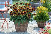 Sonnenhut Summerina 'Orange' und 'Little Goldstar' in Körben