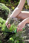 Frau erntet blühenden Lavendel mit Rasenkantenschere
