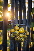 Basket of ornamental quinces (Chaenomeles) hung on fence