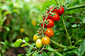 Gelbe und rote Tomaten an der Pflanze