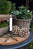 Vorweihnachtliches Arrangement mit Christrose, Kerze und Pinienzapfen