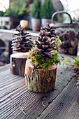Kiefern-Zapfen auf Baumstück
