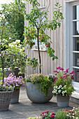 Terrasse mit Apfelbäumchen 'Nela' Halbstamm und 'Diwa' Spindelbusch
