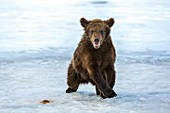 Brown bear cub on ice
