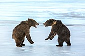 Brown bear cubs play-fighting on ice