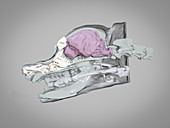 Dog skull and brain, 3D CT scan