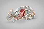 Chinchilla anatomy, 3D CT scan