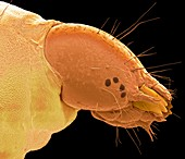 Head of plum fruit moth larva, SEM