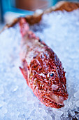 A scorpion fish on ice
