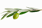 An olive branch with a green olive