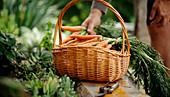 A man adding a bunch of freshly picked carrots to a basket