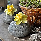 Narzissenblüten einzeln in Steinvasen