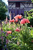 Türkischer Mohn 'Pink Ruffles' im ländlichen Garten