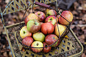 A wire basket of apples (Rheinischer Winterrambur variety)