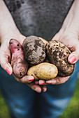 A woman holding different types of potatoes