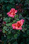 Coral garden roses