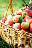 Fresh Harvest of Apples Basket on Grass