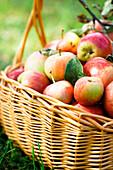 Korb mit frisch geernteten Äpfeln im Gras