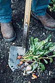 Digging up beetroot in a kitchen garden