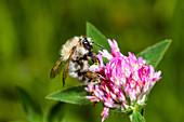 Pelzbiene auf Blüte