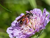 Wildbiene auf Acker-Witwenblume Blüte von Skabiose