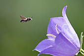 Wildbiene im Anflug auf Glockenblume