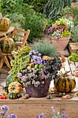 Herbstlich bepflanzter Topf mit Fetthenne, Aster, Blauschwingel und Purpurglöckchen