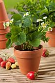 Blühende Erdbeerpflanze im Tontopf