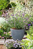 Eisenkraut - Verbena bonariensis 'Purple Tower'