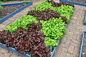 Roter und grüner Salat als Muster gepflanzt