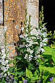 weiße Wald-Glockenblume