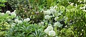 Beet mit weißem Zierlauch, Blumenhartriegel und Lenzrose