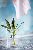Fresh sage in a glass of water