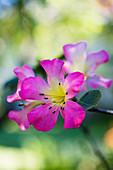 Blüte von Rhododendron Vireya Hybride 'Apassionata'