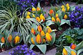 Tulpe 'Flair' mit Glockenblumen und Zwerg-Kalmus