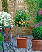 Zwerg-Apfelbaum für die Terrasse
