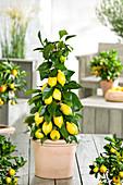 Zitronenbäumchen als Pyramide gezogen