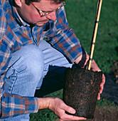 Birke einpflanzen