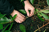 Rhododendron durch Absenker vermehren