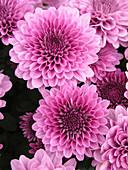 Herbstchrysantheme 'Regal Cheryl Purple'