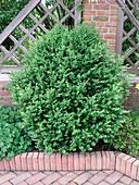 Buchsbaum 'Green Mountain'