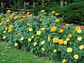 Blumenrabatte mit Tagetes