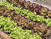Salatbeet mit rotem und grünem Kopfsalat in Reihen