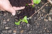 Trieb von Kletterhortensie zum bewurzeln mit Draht auf der Erde befestigen und mit Kompost bedecken